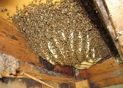 Honey Bee Swarms Clark County Beekeepers Association